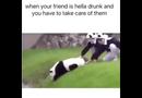 Video-Hot - Ngộ nghĩnh chú gấu trúc hành động như người say rượu