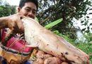 Kinh doanh - 20 con cá trê toàn thân màu hồng trong ao của nông dân Cần Thơ