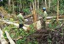 An ninh - Hình sự - Để mất 2000 hécta rừng, hàng loạt lãnh đạo công ty lâm nghiệp bị bắt