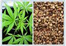 Cộng đồng mạng - Ngang nhiên buôn bán hạt giống và dạy cách trồng cần sa trên mạng