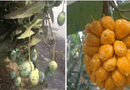 """Cộng đồng mạng - """"Cười té ghế"""" với 1.001 chiêu chống trộm trái cây chỉ có ở Việt Nam"""