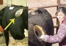 Đời sống - Bật mí sự thật phía sau những chiếc lỗ trên bụng bò sữa
