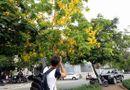 Tin trong nước - Quốc hoa Thái Lan vàng ruộm phố  Hà Nội
