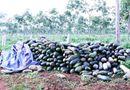 """Tin trong nước - Gia Lai ra văn bản chỉ đạo gấp vụ thương lái """"bỏ bom"""" nông dân"""