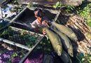 Tin trong nước - Cá nuôi lồng bè trên sông Bồ chết hàng loạt, thiệt hại hàng trăm triệu đồng