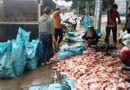 Tin trong nước - Kon Tum: Truy tìm nguyên nhân 100 tấn cá chết trên hồ thuỷ điện Plei Krông