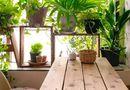 Ăn - Chơi - Trồng những cây cảnh này: Nhà vượng, sức khỏe tăng