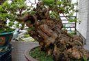 """Đời sống - Cây ổi quý được cho là 300 năm tuổi, trả 1 tỷ đồng không bán khiến bonsai Hà Thành """"phát sốt"""""""