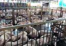 Tin trong nước - Vụ hàng nghìn con heo bị tiêm thuốc an thần: 17 cán bộ thú y phải giải trình