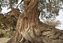 Tin tức - Những cây gỗ tươi quý hiếm bậc nhất thế giới chỉ đại gia mới dám chi tiền mua