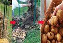 """Ăn - Chơi - Vùi vài củ khoa tây vào tổ rơm nhỏ trong vườn, cô gái """"bội thu"""" hàng chục cân khoai tây"""