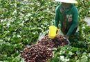 Tin tức - Trồng củ ấu trên đất lúa nông dân thu nhập vài chục triệu đồng