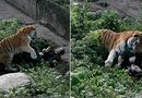 Video-Hot - Hổ sổng chuồng, lao ra cắn nhân viên sở thú trước mặt du khách