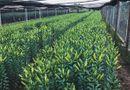 Kinh doanh - Lo hoa nở trước 20/11, chủ vườn Tây Tựu phải cắt sớm, đem hoa đi ướp lạnh