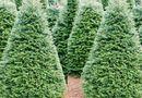 Tin tức - Mầm dịch bệnh ít ai ngờ từ cây thông Noel không phải ai cũng biết