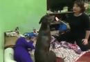 """Tin tức - Phì cười với clip về chú chó dễ thương khiến bà chủ phải """"nương tay"""""""