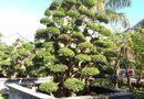 Tin tức - Chiêm ngưỡng những cây cảnh có giá đắt hơn cả căn biệt thự