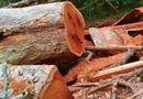 Tin tức - Phát hiện lâm tặc phá rừng với quy mô lớn tại vườn quốc gia Yok Đôn