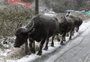 Tin tức - 187 gia súc chết rét ở Yên Bái