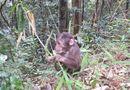 Tin tức - Hai cá thể khỉ mặt đỏ bị bẫy bắt đã được thả về tự nhiên