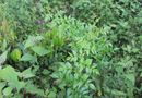 Chữa dạ dày hiệu quả bằng loại cây có sẵn ở núi rừng