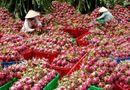 Tin tức - Cảnh báo việc thương lái Trung Quốc lùng mua nông sản Việt