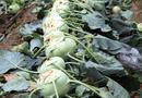Tin tức - Su hào, củ cải bị đổ bỏ: Cục Trồng trọt nói gì?