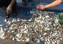 Tin tức - Không phát hiện độc tố trong cá chết dạt vào bờ biển Quảng Trị