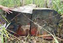 Tin trong nước - Video: Cận cảnh bãi tập kết toàn gỗ khủng của lâm tặc khét tiếng ở Gia Lai