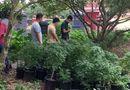 """Tin tức - Đột kích tụ điểm trồng gần 1.000 cây nghi cần sa, truyền đạo """"Hội thánh Đức Chúa Trời"""" trái phép"""