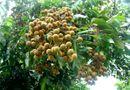 Y tế - Nguy cơ chết người do ăn phải trái cây bị dơi...cắn