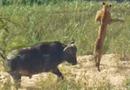 """Tin tức - Video trâu rừng tung cú húc """"sấm sét"""" hất bay sư tử"""