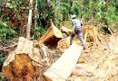 Tin tức - Cận cảnh tình trạng chặt phá rừng đầu nguồn ở miền Tây xứ Nghệ