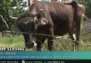 """Tin thế giới - Video: Chân dung cô bò mang thai lĩnh án tử hình do """"vượt biên trái phép"""" khỏi lãnh thổ EU"""