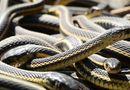 Tin tức - Video: Rùng mình chứng kiến cảnh rắn mẹ đẻ cả đàn con lổm ngổm