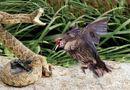 Tin tức - Video: Chim mẹ điên cuồng tấn công rắn độc, trả thù cho con