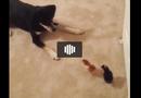 Tin tức - Video: Siêu hài hước với chú chó chân ngắn