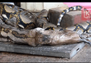 Tin tức - Video: Cận cảnh trăn dài 3 mét nôn trả 2 con mèo to