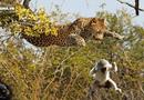 """Tin tức - Video: Hổ nhận """"trái đắng"""" khi leo cây cao săn khỉ"""