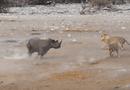 Tin tức - Video: Tê giác vác bụng bầu hỗn chiến với 3 con sư tử