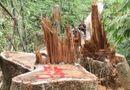 Tin trong nước - Quảng Nam: Truy nã hai nghi can phá rừng lim cổ thụ