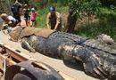 """Tin tức - Bắt được cá sấu """"khủng"""" 60 tuổi, nặng đến 600kg sau 8 năm tìm kiếm"""