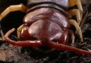 Tin tức - Video: Rết phun nọc giết chuột trong nháy mắt