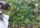 Tin tức - Chủ vườn đau đớn nhìn vườn nhãn sai trĩu quả sắp đến ngày thu hoạch bị kẻ gian phá nát
