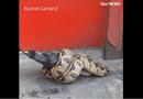 Video - Video: Trăn lớn siết chặt chim bồ câu ngay giữa đường phố London