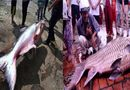 """Tin tức - Clip: Sốc với những con """"thủy quái"""" khổng lồ từng sa lưới ngư dân Việt"""