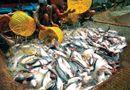 Tin thế giới - Công nghệ sản xuất cá tra mới của Việt Nam lên báo nước ngoài
