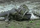 Tin tức - Video: Cá sấu xé toạc bụng trăn Miến Điện để trả thù