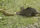 Tin tức - Video: Mèo hoang tử chiến ác liệt với rắn độc khét tiếng