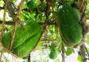 """Tin tức - Cận cảnh vườn bí đao """"khổng lồ"""" nặng gần 100kg/quả"""
